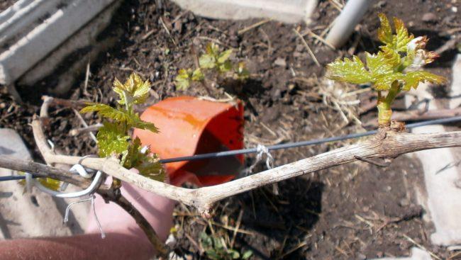 Подкормка куста винограда весной из ведёрка