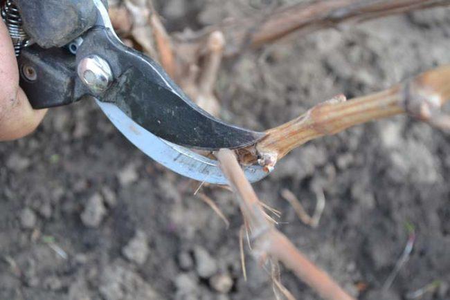 Осенняя формирующая обрезка виноградной лозы острым садовым секатором