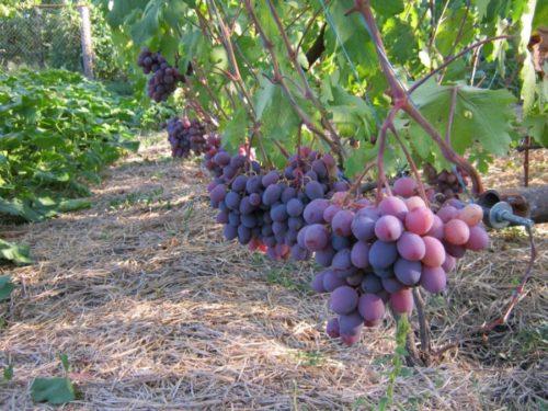 Грозди спелого винограда на вертикальной шпалере и солома на поверхности земли
