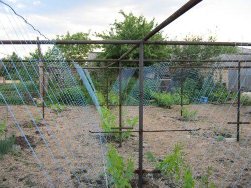 V-образная шпалера для винограда и молодые стебли, подвязанные на шпагате