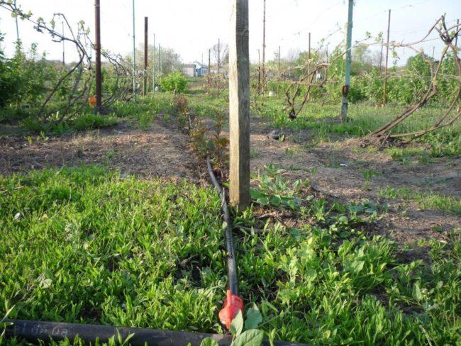Высокие столбы шпалер на территории виноградника и трубы системы капельного пролива