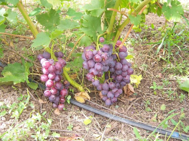 Грозди винограда у самой поверхности земли и полиэтиленовая труба капельной системы орошения