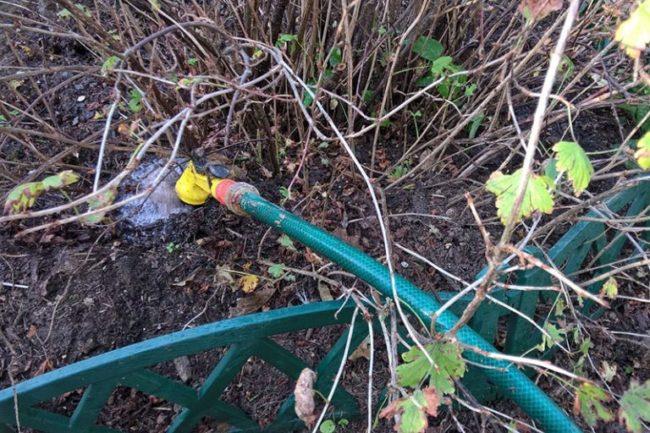 Полив куста крыжовника под корень из садового шланга поздней осенью