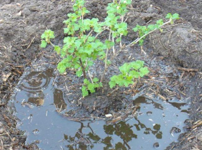 Лунка с водой вокруг молодого крыжовника, полив куста с внесением подкормок
