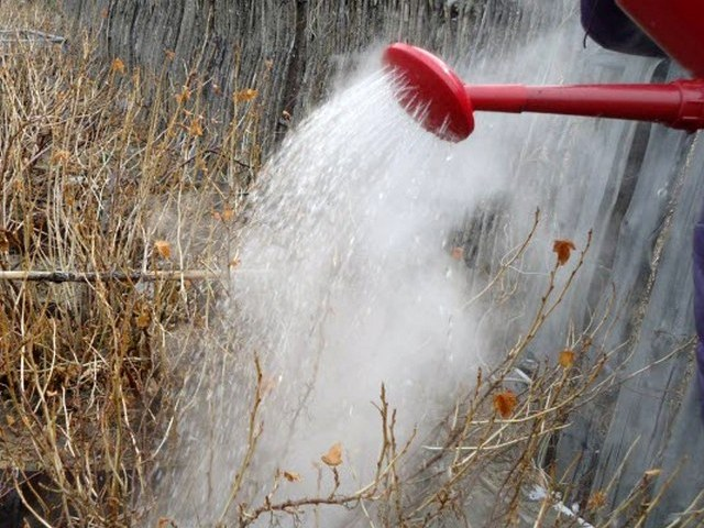 Полив ранней весной куста крыжовника горячей водой из садовой лейки