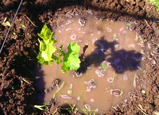 Виноградный саженец с молодыми ростками в посадочной яме и вода на поверхности земли