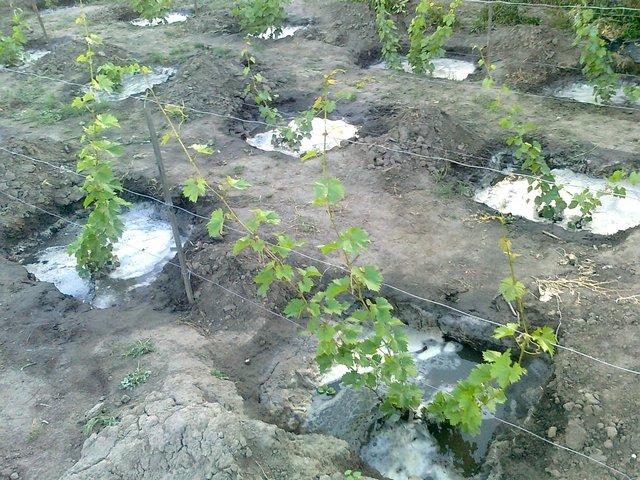 Молодые кусты винограда Юбилей Новочеркасска на низкой шпалере и лунки с водой