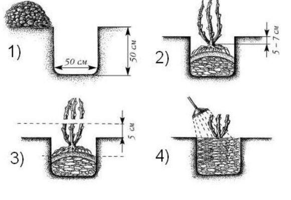 Схема посадки крыжовника: размеры лунки и размещение саженца относительно поверхности земли
