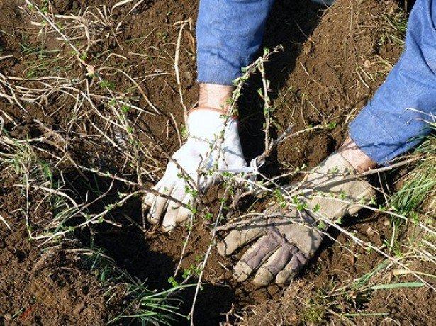 Высадка саженца крыжовника в открытый грунт ранней весной, утрамбовывание земли в посадочной лунке
