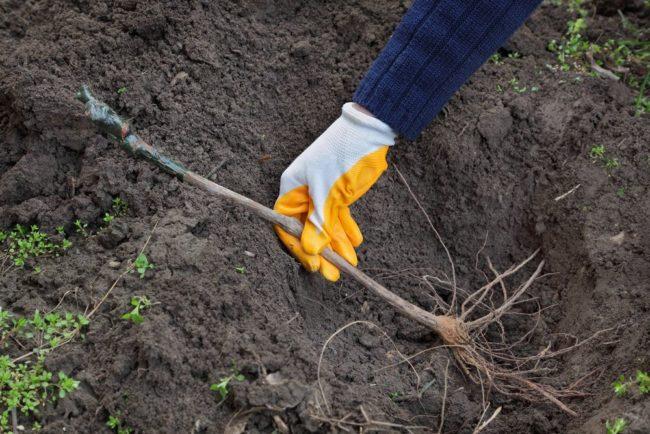 Правильное размещение длинного черенка винограда в посадочной яме
