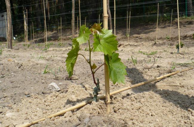Молодой саженец винограда растёт в почве