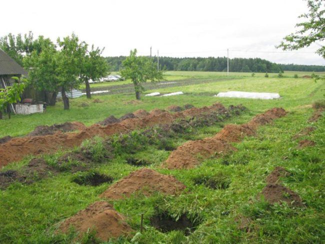Подготовка места под виноградник, посадочные ямы и холмики вынутого грунта