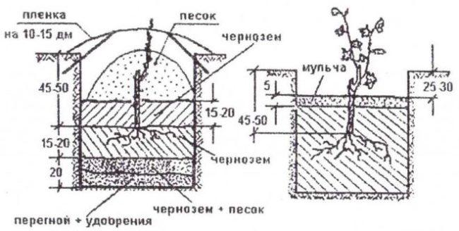 Схема посадочной лунки для винограда, размеры и размещение саженца относительно уровня почвы