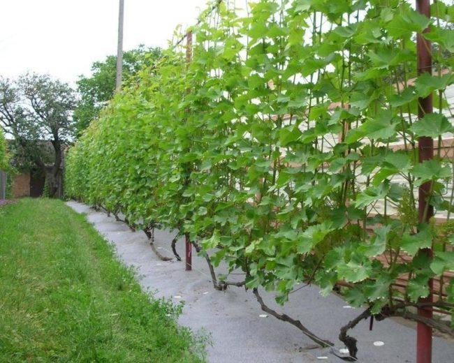 Кусты винограда растут на участке рядом с газонной травой