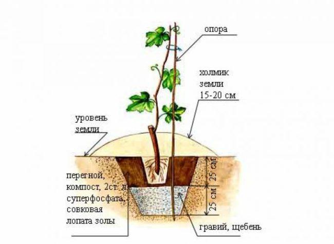 Схема посадки винограда весной