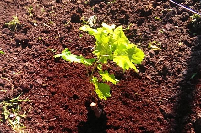Черенок винограда с молодыми побегами и торф на поверхности земли