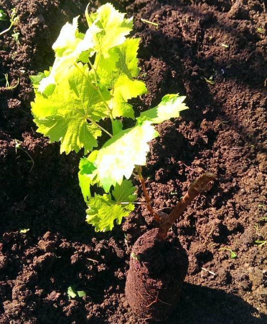Саженец винограда с закрытой корневой системой из контейнера, весенняя посадка в открытый грунт