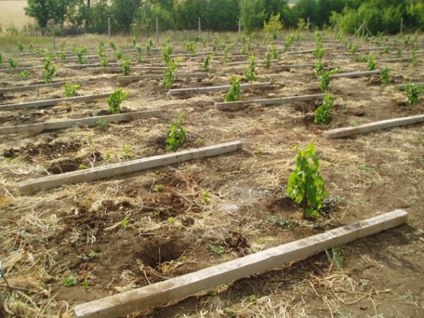 Закладка виноградника в конце августа с Самарской области и брусья для замера расстояния между кустами