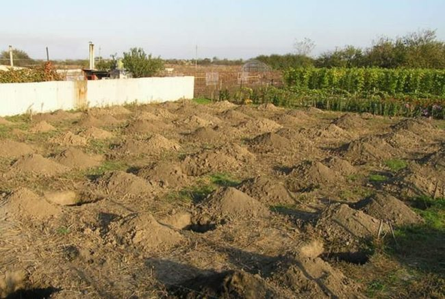 Посадочные ямы для саженцев винограда сорта Преображение, закладка нового питомника