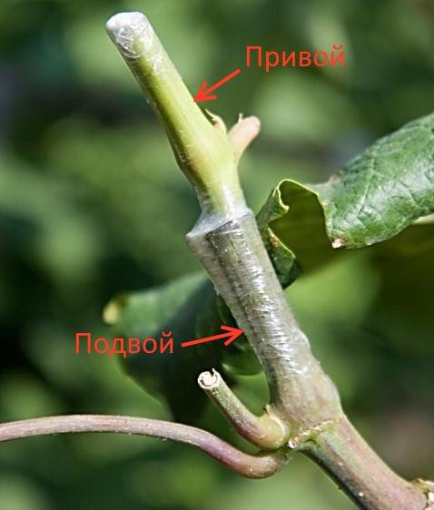 Фото прививки черенка винограда с указанием привоя и подвоя