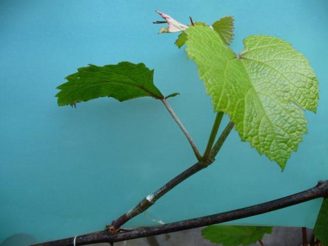 Молодые листочки на привитом черенке винограда и одеревеневший стебель взрослого куста