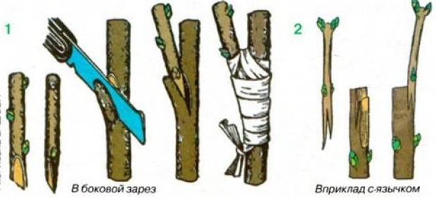 Схемы прививки крыжовника на штамб вприклад с язычком и в боковой разрез