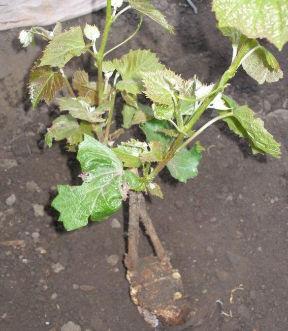 Молодые стебли винограда на прижившихся черенках, высаженных на подвой