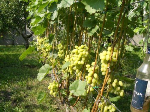 Виноградник с большими зелёными ягодами