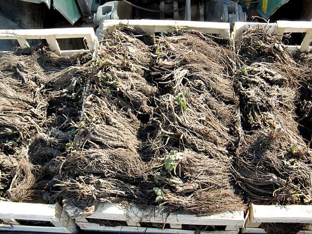 Рассада Фриго в деревянных ящиках для промышленного выращивания клубники по голландской технологии