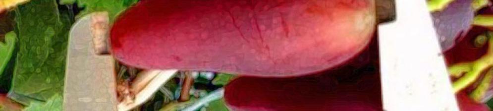 Крупный плод винограда сорта розовый Дубовский вблизи