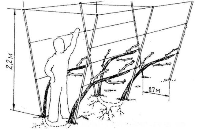 Схема и размеры двухплоскостной шпалеры для выращивания винограда на своем садовом участке