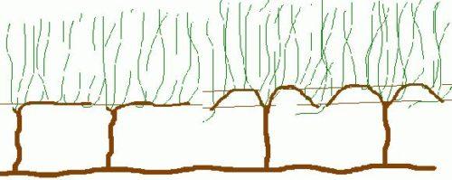 Схема выращивания виноградной лозы с учетом достаточного освещения для всех веток