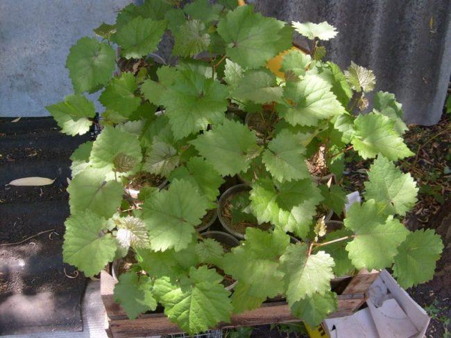 Саженцы винограда, выращенные из косточек в домашних условиях, подготовка к высадке в саду