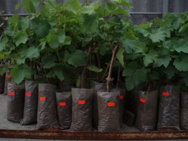 Саженцы винограда растут в пакетах
