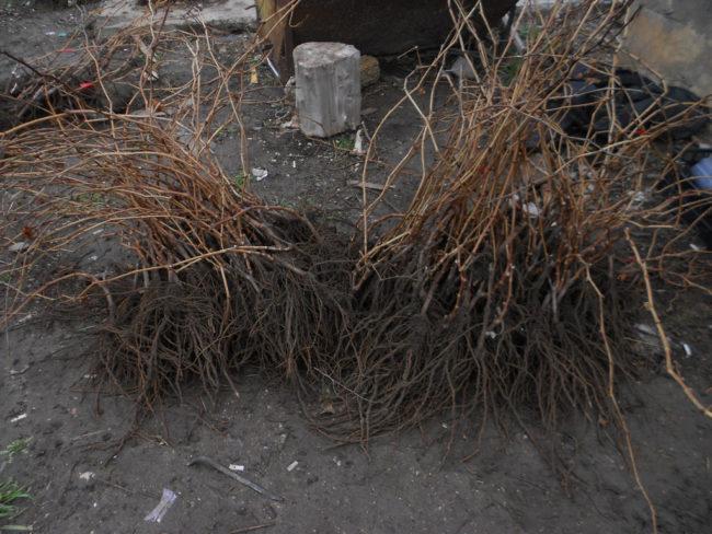 Виноградные саженцы с открытой корневой системой для осенней посадки