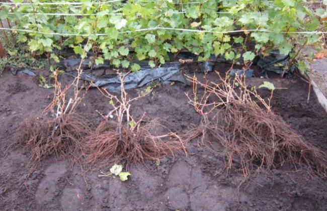 Саженцы тщательно отобраны и подготовлены для закладки нового виноградника