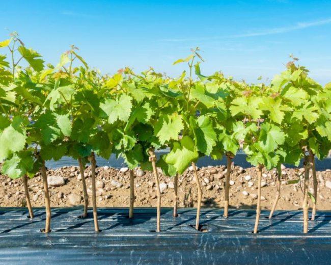 Укоренившиеся черенки винограда в школке под черным агроволокном