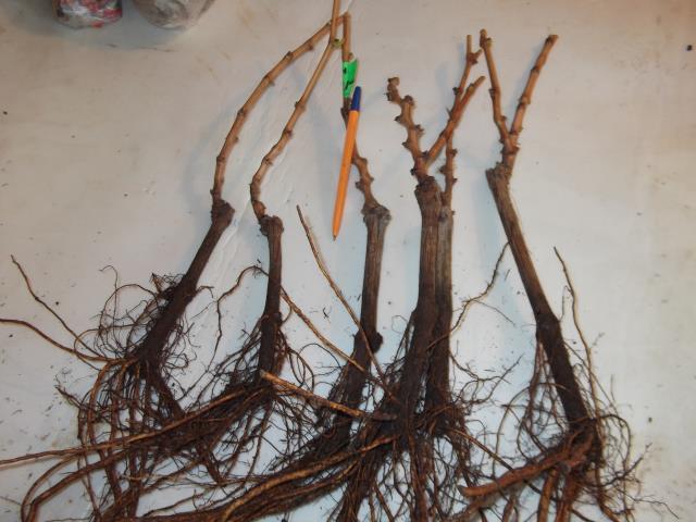 Годовалые саженцы винограда с открытой корневой системой для осенней посадки