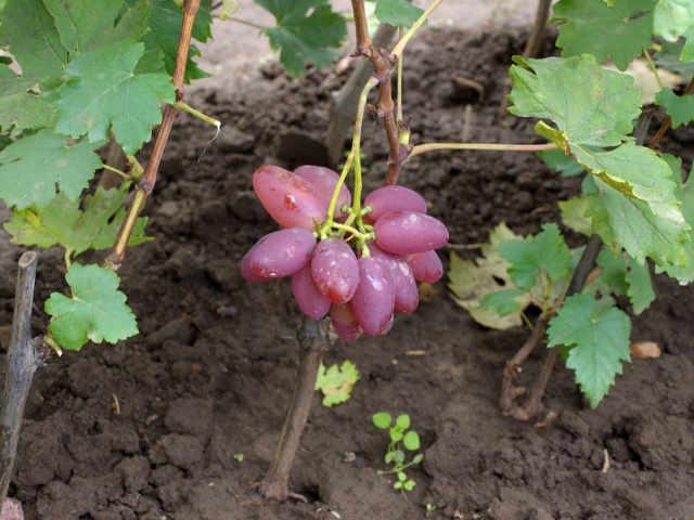Молодой саженец винограда сорта Преображение и маленькая гроздь ягод