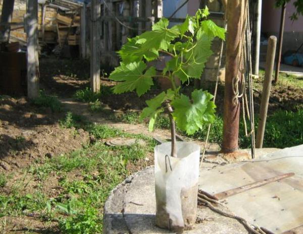Хорошо развитые молодые побеги на саженце винограда сорта Гелиос