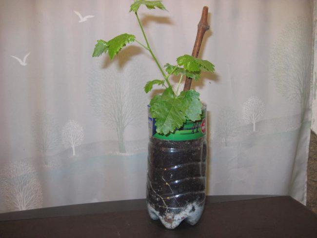 Укоренившийся черенок винограда в пластиковой бутылке и молодой зеленый побег