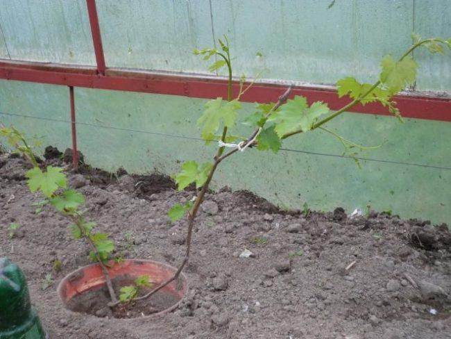 Молодой кустик винограда сорта Анюта, привязанный к проволочной шпалере