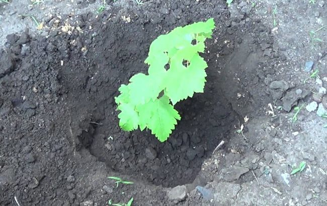 Молодой сеянец винограда, выращенный в домашних условиях, после пересадки в открытый грунт
