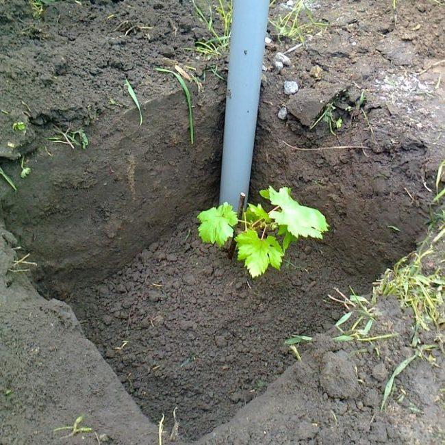 Саженец винограда в посадочной лунке, заглубление черенка ниже поверхности земли