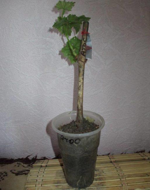Укоренившийся черенок винограда с молодыми побегами и пластиковый стаканчик