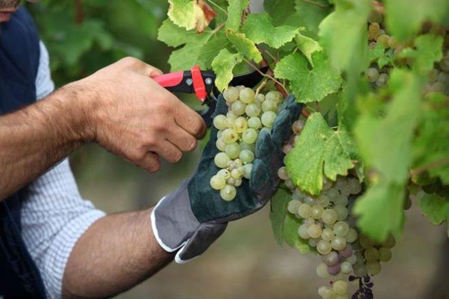 Обрезка грозди винограда садовым секатором, сбор урожая на длительное хранения в домашних условияхз
