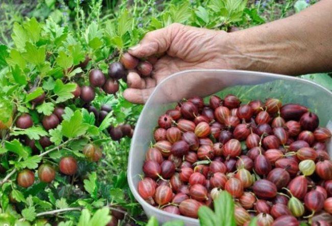 Сбор ягод красного крыжовника в пластиковый контейнер для употребление в свежем виде