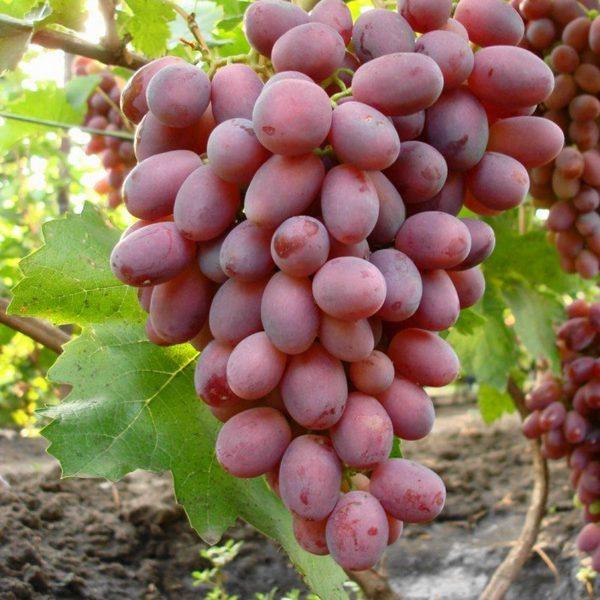 Крупная объемистая гроздь винограда сорта Сенсация вблизи