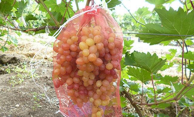 Гроздь спелого винограда и защитная капроновая сетка