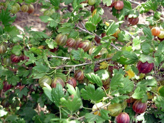 Куст крыжовника сорта Северный Капитан с раскидистыми рослыми стеблями и ягодами в начале срока созревания
